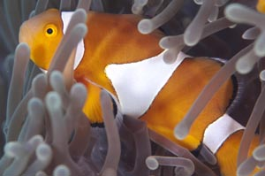 カクレクマノミ False clown anemonefish Amphiprion ocellaris HIRO/細谷洋貴