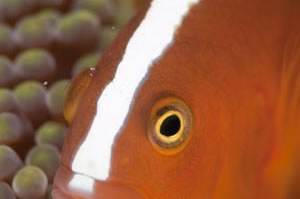 セジロクマノミ Orange anemonefish Amphiprion sandaracinos HIRO/細谷洋貴