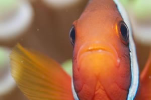 ハマクマノミ Tomato anemonefish Amphiprion frenatus HIRO/細谷洋貴